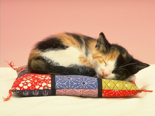 Napping Calico