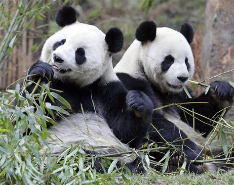 Giant_pandas